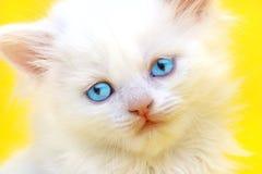 Weißes Kätzchen mit blauen Augen. Stockbild