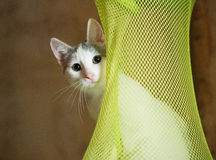 Weißes Kätzchen mit den grauen Stellen, die vorsichtig heraus schauen Lizenzfreie Stockfotos