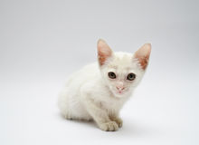 Weißes Kätzchen mit gelben Augen legen nieder stockfotografie