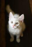 Weißes Kätzchen mit grünen Augen Stockbilder