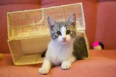 Weißes Kätzchen mit grauen Stellen Stockfotos