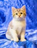 Weißes Kätzchen mit grauen Stellen und Streifen Lizenzfreies Stockbild
