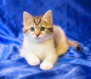 Weißes Kätzchen mit grauen Stellen und Streifen Stockfotos