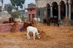 Weißes Kalb unter Kühen in einem Stift des Viehs Stockfoto