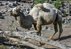 Weißes Kamel Lizenzfreie Stockfotografie