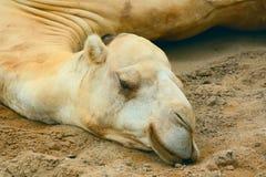 Weißes Kamel Lizenzfreie Stockfotos