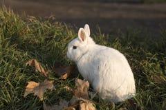 Weißes Kaninchen Stockfoto