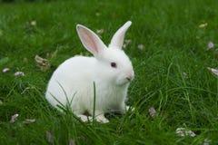 Weißes Kaninchen Stockfotografie