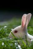 Weißes Kaninchen auf dem Gras Lizenzfreies Stockfoto