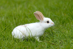 Weißes Kaninchen auf dem Gras Stockbilder