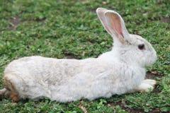 Weißes Kaninchen auf dem Gras Stockfoto