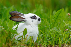 Weißes Kaninchen auf dem Rasen Stockbild
