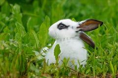 Weißes Kaninchen auf dem Rasen Stockfotografie