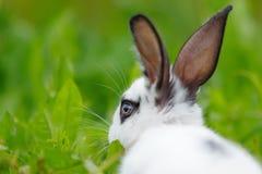 Weißes Kaninchen auf dem Rasen Lizenzfreies Stockbild