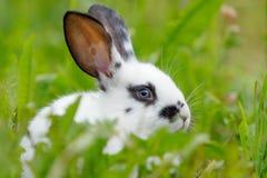 Weißes Kaninchen auf dem Rasen Lizenzfreies Stockfoto