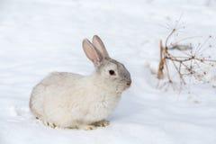 Weißes Kaninchen auf dem Schnee Stockbild