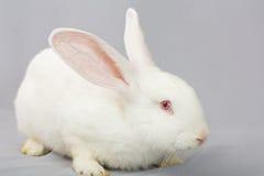 Weißes Kaninchen auf einem grauen Hintergrund Lizenzfreie Stockfotografie