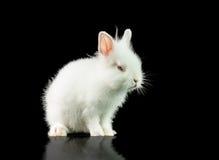 Weißes Kaninchen auf einem schwarzen Hintergrund stockbild