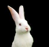 Weißes Kaninchen auf schwarzem Hintergrund Stockbild