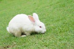 Weißes Kaninchen, das auf dem grünen Gras am Sommertag sitzt Lizenzfreie Stockfotos
