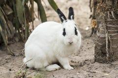 Weißes Kaninchen, das im Sand sitzt Stockbilder