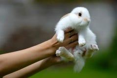 Weißes Kaninchen in den Händen Stockfoto