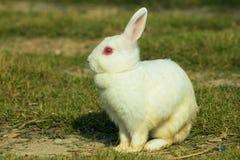 Weißes Kaninchen in einem grünen Gras Stockbild
