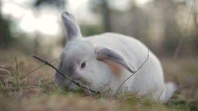 Weißes Kaninchen in einem Sommerwald stock footage