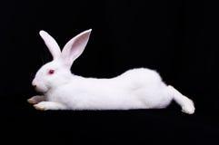 Weißes Kaninchen eins Stockbild