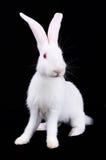 Weißes Kaninchen mit den langen Ohren Lizenzfreie Stockfotos