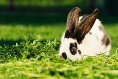 Weißes Kaninchen mit den schwarzen Flecken, die auf dem Gras stillstehen Stockfotos
