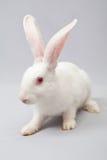 Weißes Kaninchen mit einem grauen Hintergrund Stockbilder