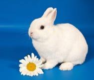 Weißes Kaninchen mit einem großen Gänseblümchen auf einem blauen Hintergrund Lizenzfreie Stockfotografie