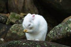 Weißes Kaninchen mit Felsen Stockbild