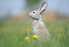 Weißes Kaninchen sitzt Lizenzfreie Stockbilder