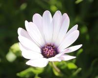 Weißes Kapgänseblümchen lizenzfreie stockfotografie