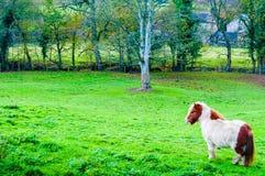 Weißes Kastanienponypferd in der grünen Rasenfläche Lizenzfreie Stockfotografie