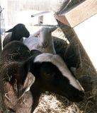 Weißes Katahdin-Mutterschaflamm, das Heu isst stockbild