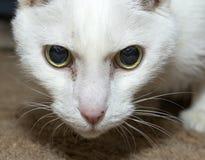 Weißes Katzenporträt Stockfotografie