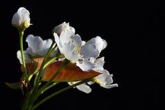 Weißes Kirschbaum Prunus avium blüht auf dunklem Hintergrund während der Blüte des Frühlinges sonniger Tages Lizenzfreies Stockbild