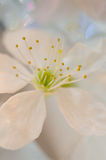 Weißes Kirschblütenmakro Stockfotos