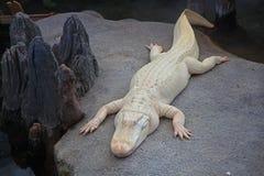 Weißes Krokodil Lizenzfreies Stockfoto