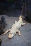 Weißes Krokodil Stockfoto