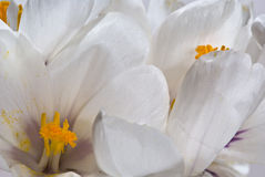 Weißes Krokusmakro Stockfoto