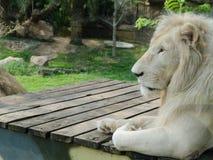 weißes Löwe insafari Stockfotos