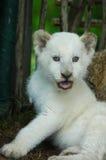 Weißes Löwejunges lizenzfreie stockbilder