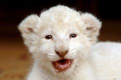 Weißes Löwejunges Lizenzfreie Stockfotos
