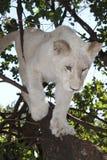Weißes Löwejunges Lizenzfreies Stockfoto