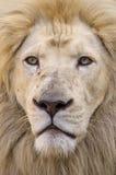 Weißes Löweportrait Stockbild