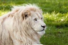 Weißes Löweportrait stockfoto